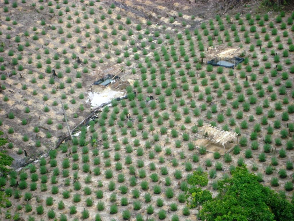 Plantação erradicada