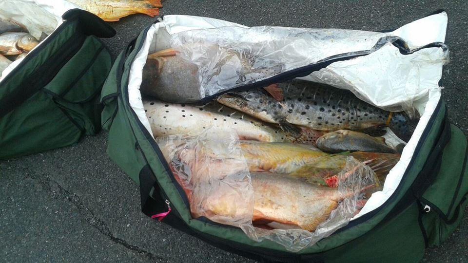 Entre as espécies está o dourado, cuja pesca está proibida (Foto: Divulgação/Ciopaer)