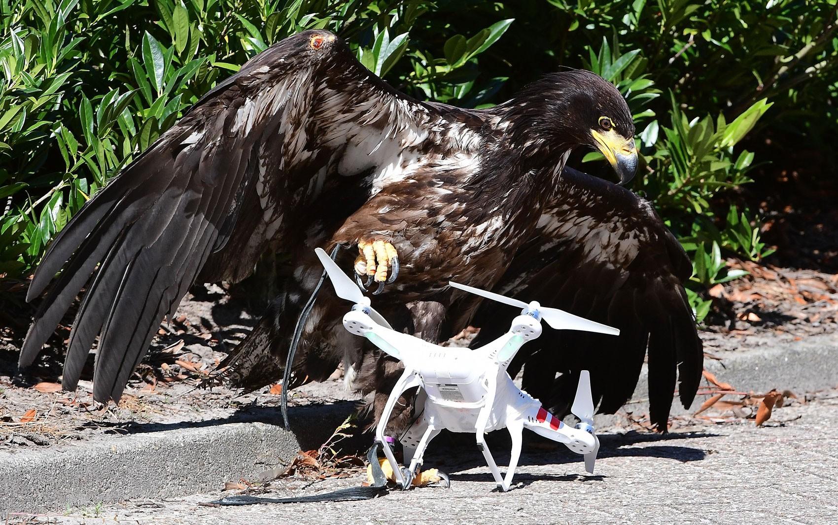 Águia usada para capturar drones é vista durante exibição na Academia Holandesa de Polícia em Ossendrecht, na segunda (12) (Foto: Emmanuel Dunand/AFP)